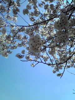花のエネルギー ①桜