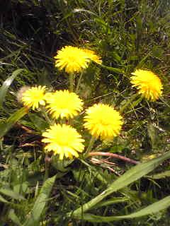 花のエネルギー ②たんぽぽ
